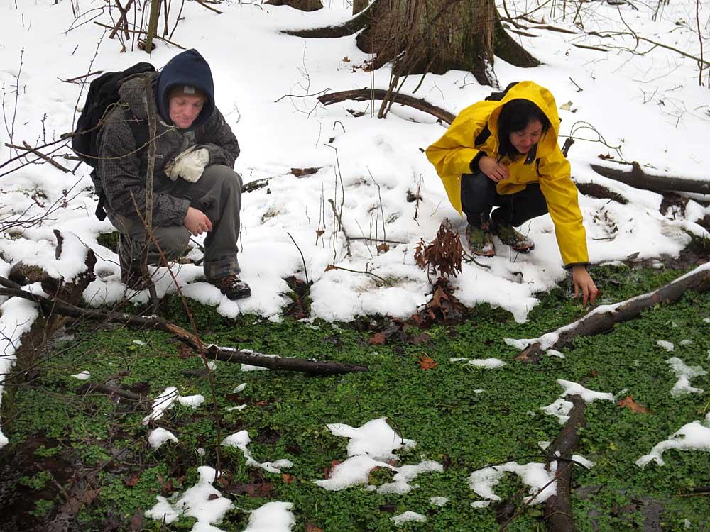 Gathering watercress in winter