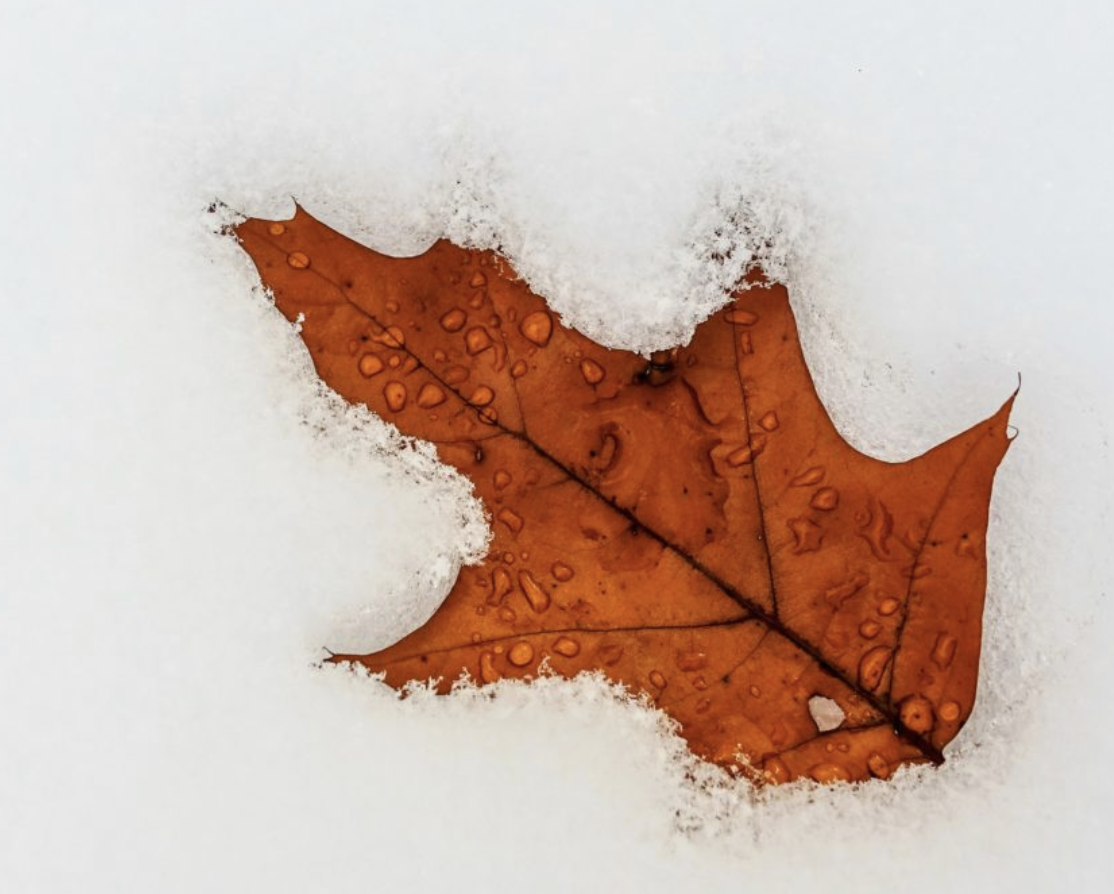 A leaf in snow